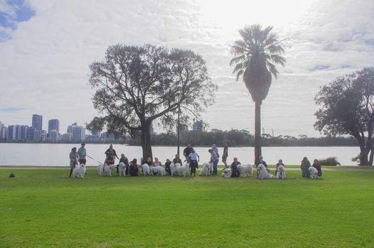 Samoyeds of WA Walk - South Perth