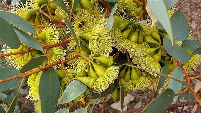 Evolution of the Eucalypt - A Guided Tour