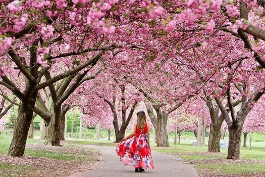 Cherry Blossom Festival Nyc 2021 Central Park N Y Long Island City 25 April To 26 April